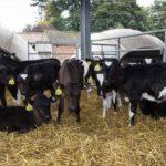 calves-weight-gain-article