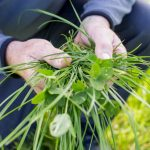 grass-in-the-rumen-article